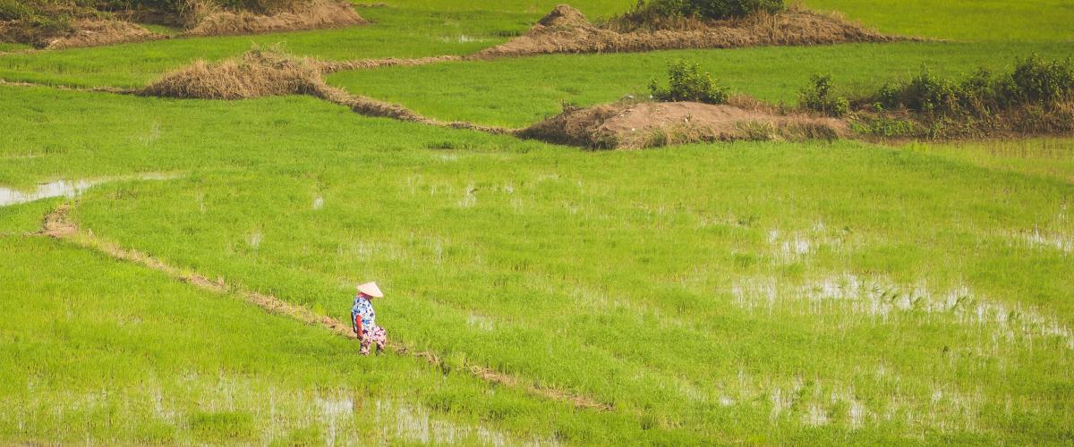 Culture du riz (5)
