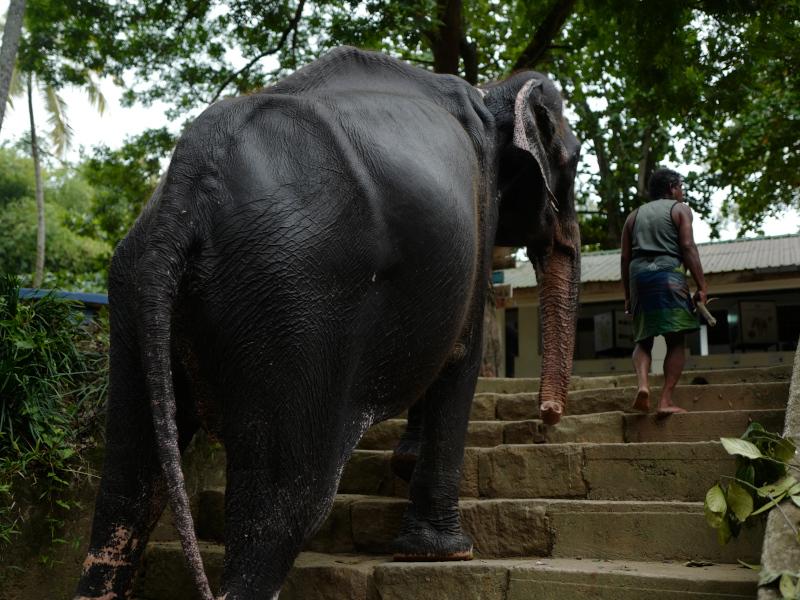 E léphant domestiqué, Millenium Elephant Foundation au Sri Lanka