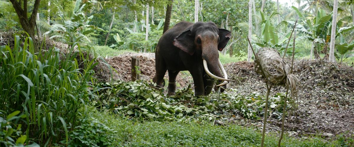Eléphant dans la Millenium Elephant Foundation