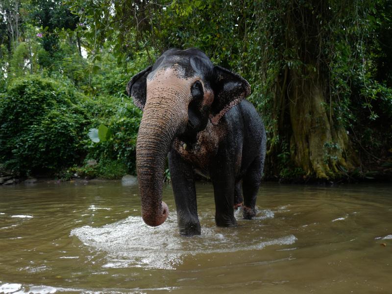 Eléphanteau dans la rivière de la Millenium Elephant Foundation au Sri Lanka