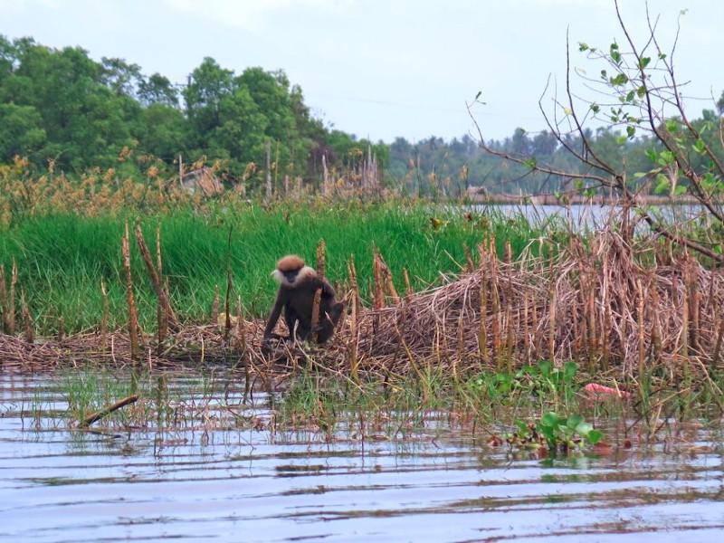 Singe au bord du lac de Bolgoda au Sri Lanka