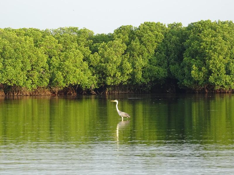 Héron pêchant dans le lagon de Pottuvil au Sri Lanka
