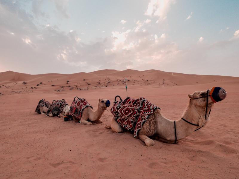 Balade en chmeaux dans le désert de Dubaï