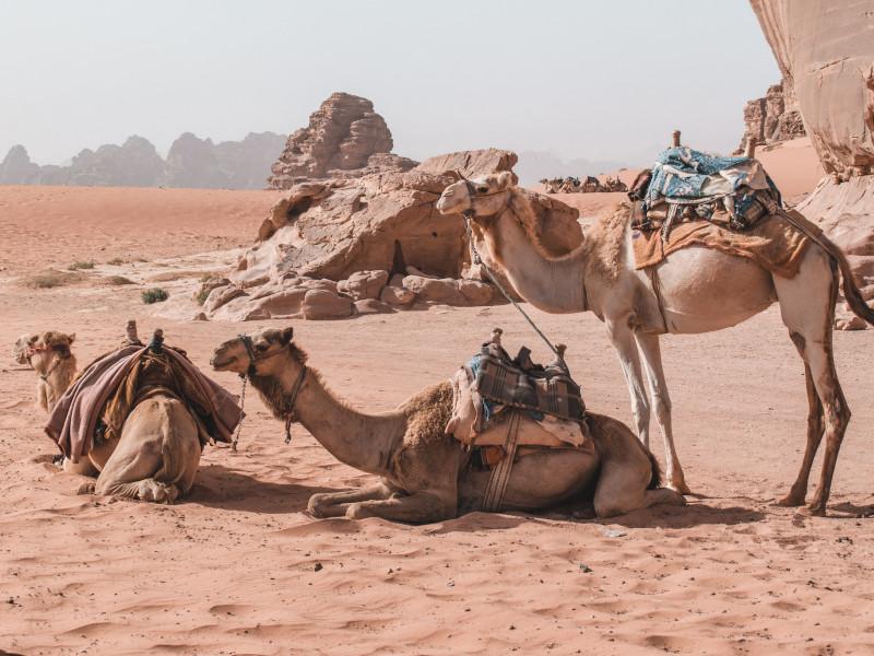 Rencontre avec les chameaux et découverte d'une activité à découvrir : la câlinothérapie