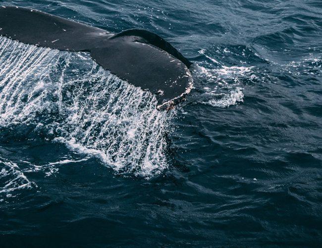 Baleine du Sri Lanka